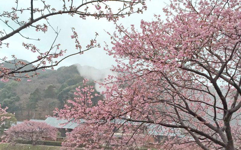 もうすぐ桜祭りが始まります!