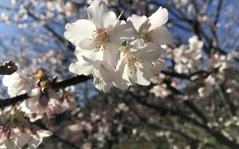 白浜桜の里🌸